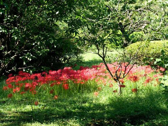 浜離宮恩賜庭園 彼岸花 開花状況