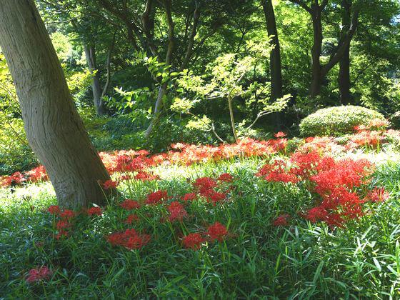 小石川後楽園 彼岸花 開花状況