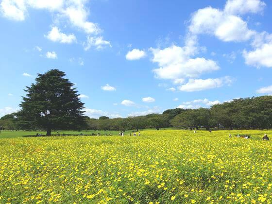 国営昭和記念公園 キバナコスモス