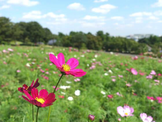 コスモス 昭和記念公園