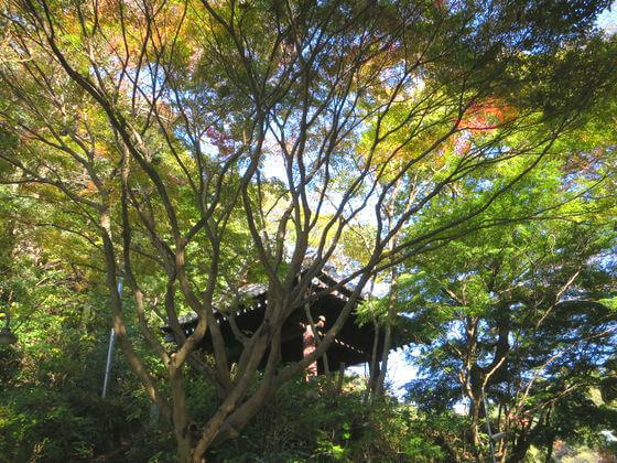 紅葉 鎌倉 妙本寺