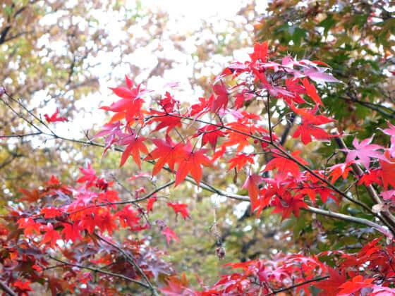 九品仏浄真寺 楓