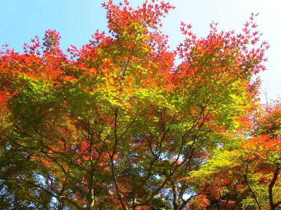池田山公園 カエデ
