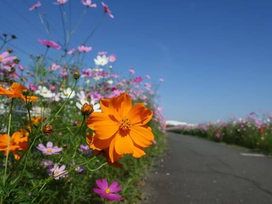 コスモスの咲く散歩道 富士見市 埼玉県
