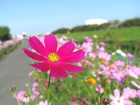 富士見市 コスモス 開花状況