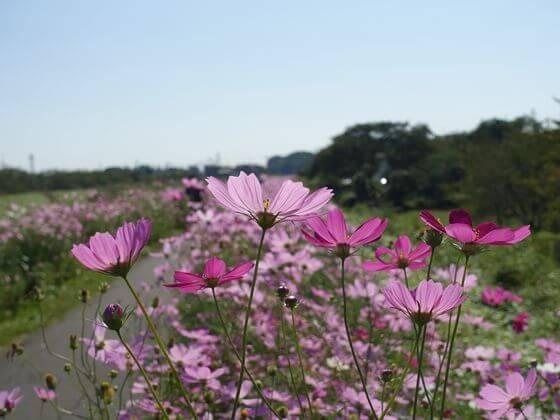 コスモスの咲く散歩道 アクセス