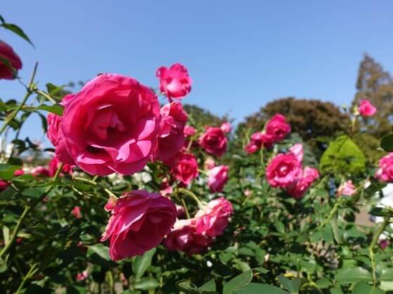 港の見える丘公園 バラ 開花状況