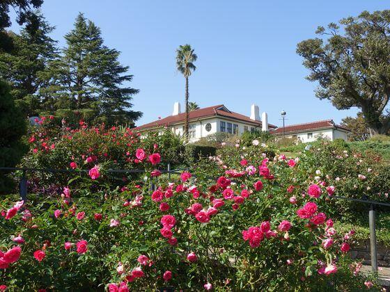 港の見える丘公園 バラ