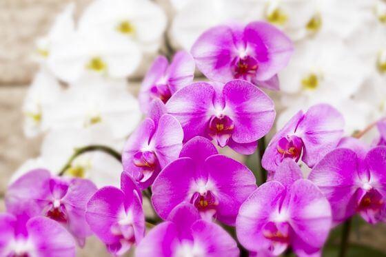 胡蝶蘭 お祝い 色
