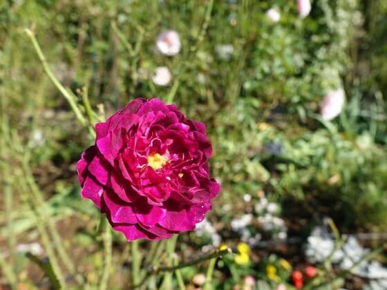 港の見える丘公園 薔薇