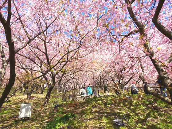 松田山 河津桜