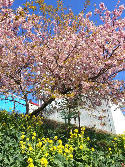 まつだ桜まつり 菜の花