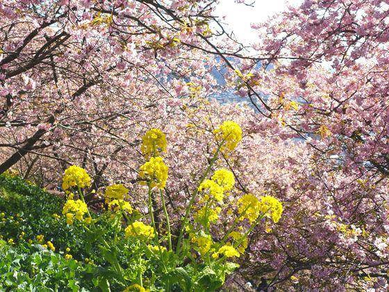 松田山 菜の花