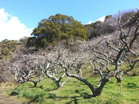 鎌倉 十二所果樹園 梅