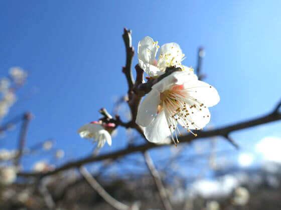 鎌倉 十二所果樹園 ウメ