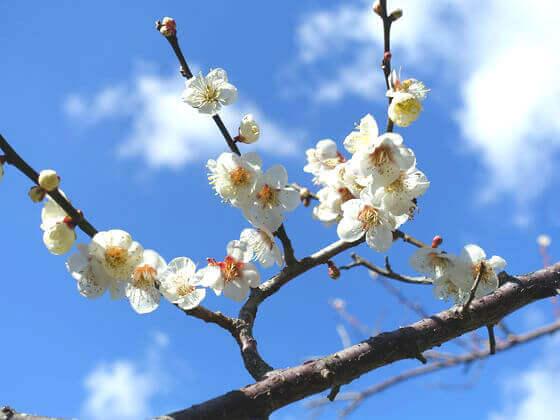十二所果樹園 鎌倉 梅