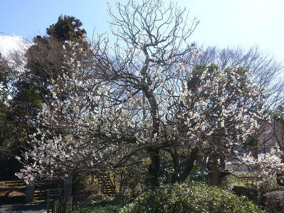 鎌倉 浄妙寺 梅