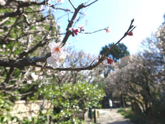 鎌倉 宝戒寺 梅