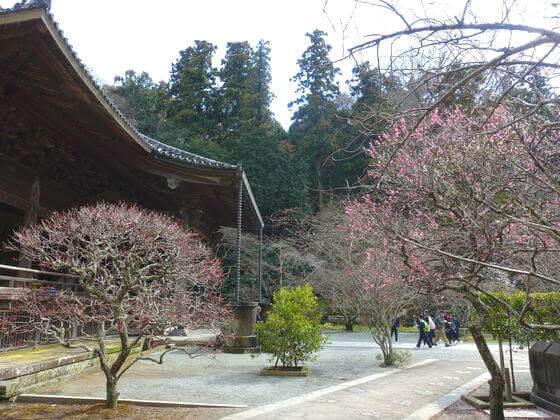 鎌倉 妙本寺 梅