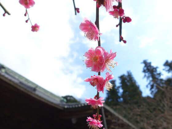 妙本寺 鎌倉 梅
