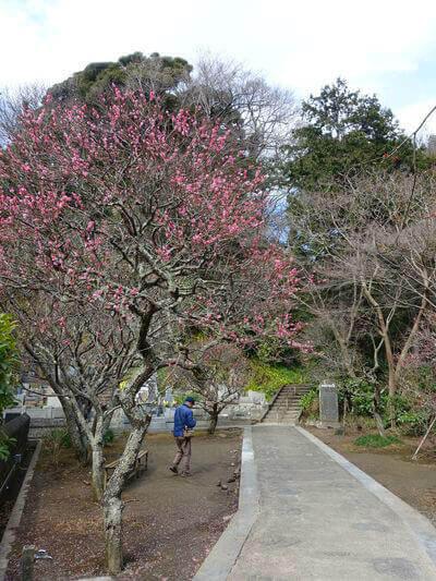 妙本寺 鎌倉 紅梅