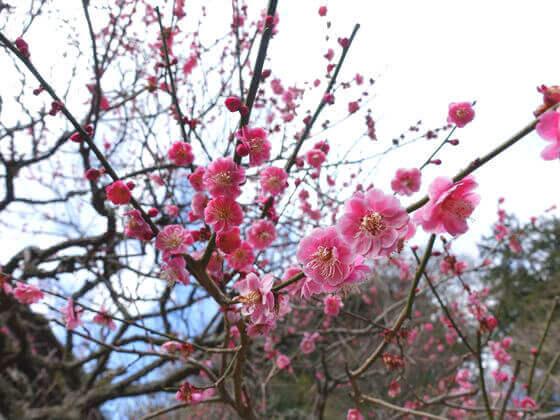 鎌倉 妙本寺 紅梅