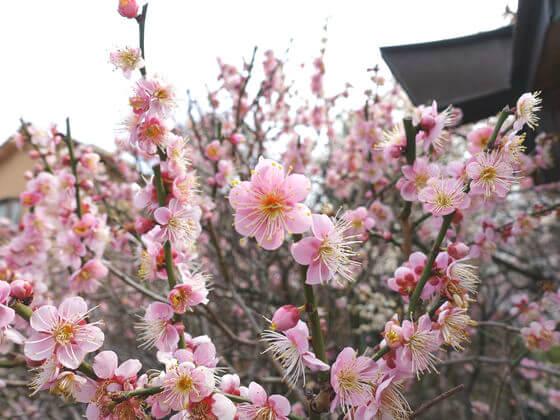 ウメ 小村井香取神社