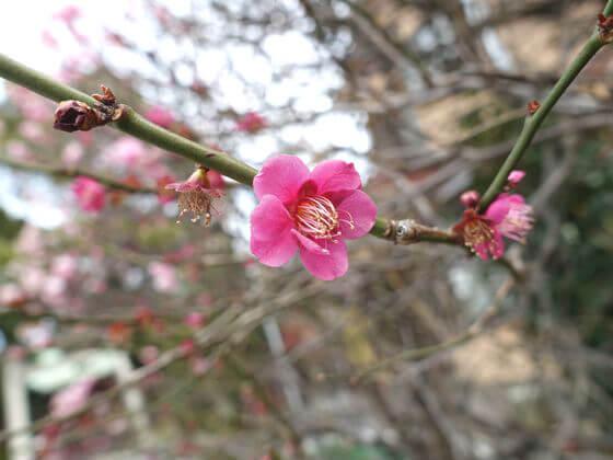 小村井香取神社 紅梅
