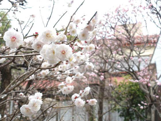 小村井香取神社 白梅