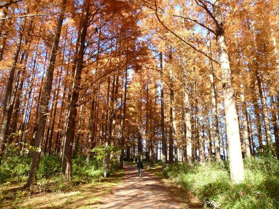 水元公園 メタセコイアの森