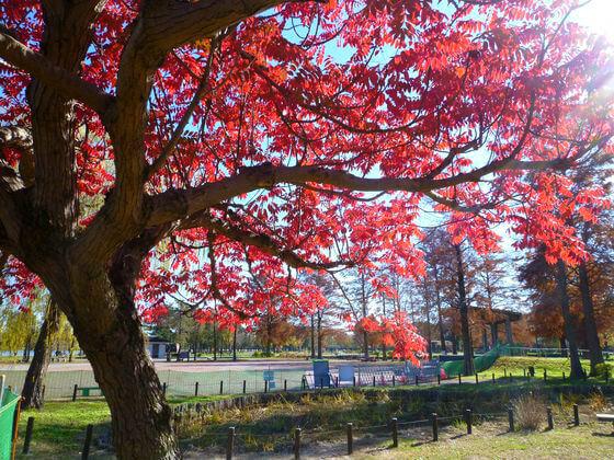 水元公園 ハゼノキ