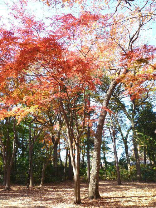 石神井公園 イロハモミジ