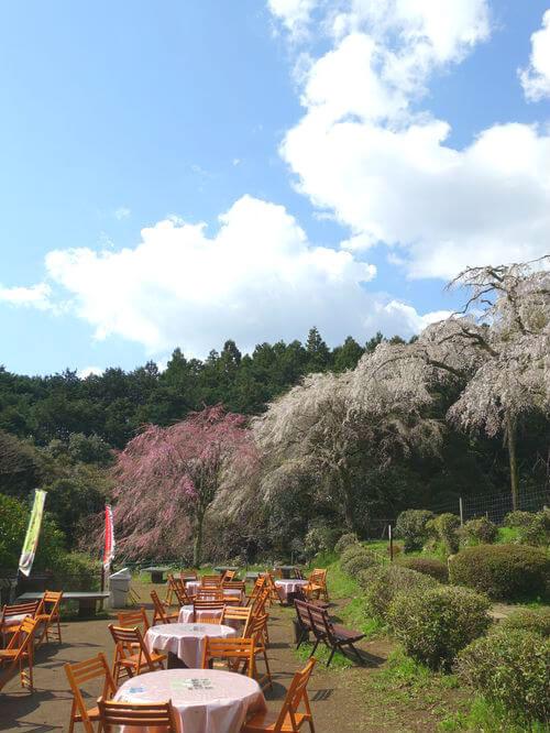 小田原 長興山 しだれ桜