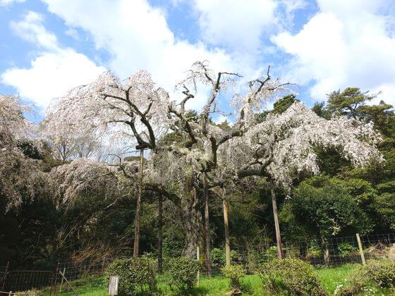 長興山 しだれ桜