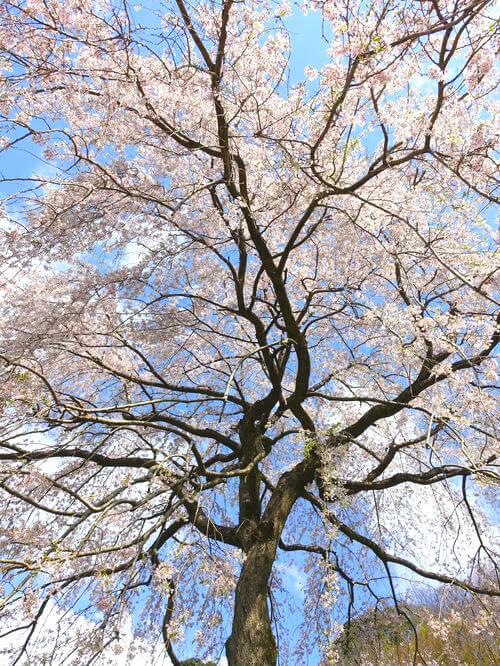 小田原 しだれ桜