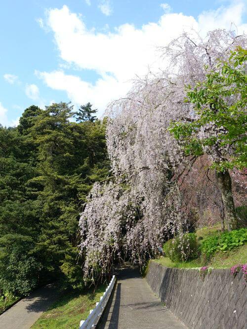 小田原 枝垂れ桜