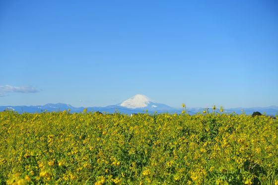 ソレイユの丘 菜の花