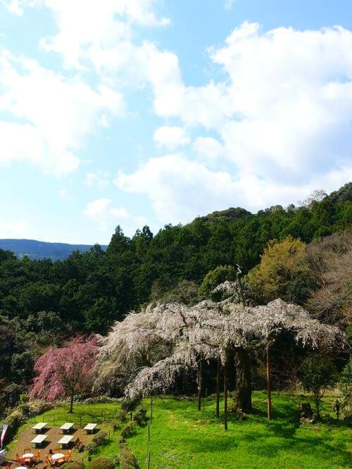 入生田 しだれ桜