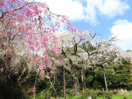 長興山のしだれ桜 見頃