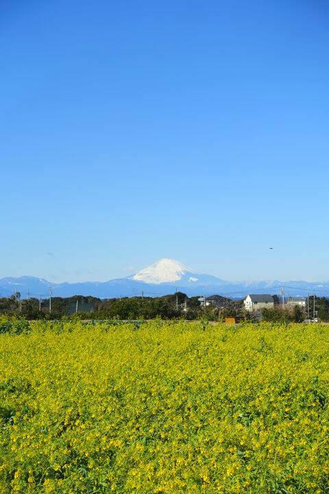 長井海の手公園 菜の花