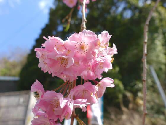 長興山のしだれ桜 開花情報