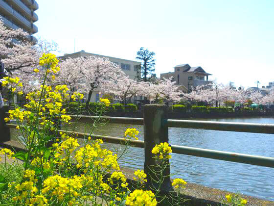 小田原城 菜の花