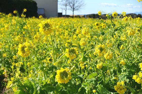 長井海の手公園 ソレイユの丘 菜の花