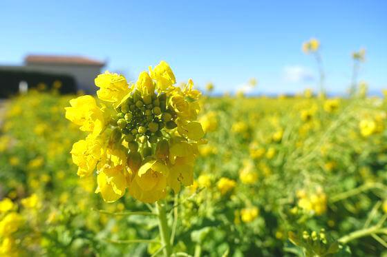 ソレイユの丘 菜の花 開花状況