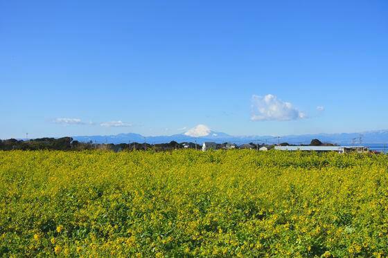 ソレイユの丘 菜の花 富士山