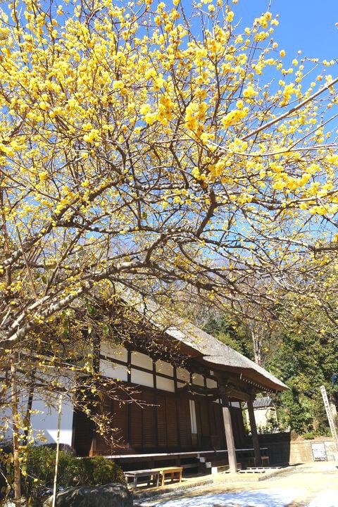 横浜 西方寺 ロウバイ