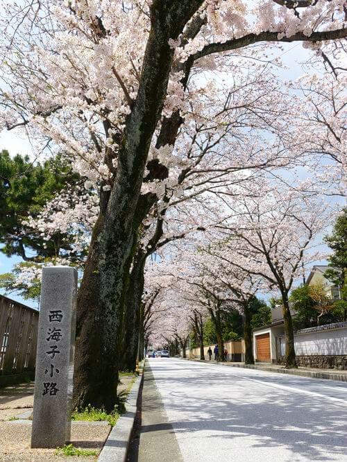 小田原 西海子小路 桜
