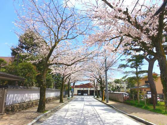 小田原 桜並木