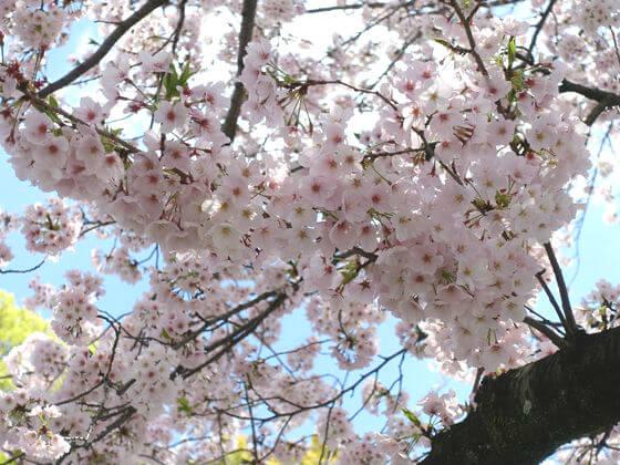西海子小路 桜 開花状況