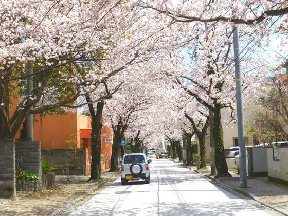 西海子小路 桜 見頃